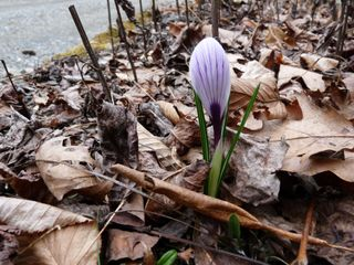 03-14-09, first crocus