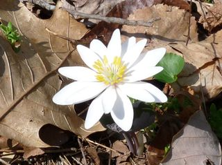 03-24-09, Bloodroot with 15+ petals.